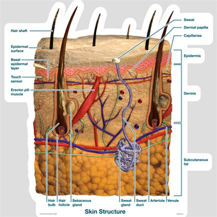 Labeled Skin Diagram For Charting Blank Skin Diagram Wire Diagrams